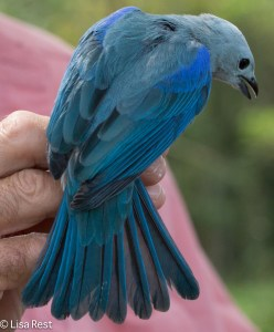 Blue-Grey Tanager 11-10-14-9026