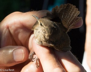 House Wren - the same species, but not the same population we have at home