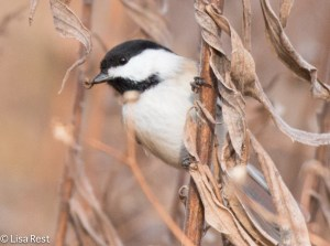 Black-Capped Chickadee 11-30-14