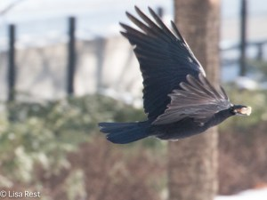 Snow Crow 1-15-15-0466
