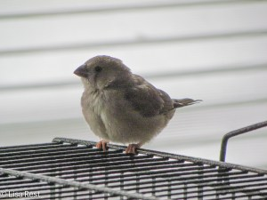 Zebra Finch Fledgling 1-4-15-1685