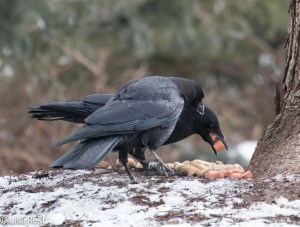 Hot Dog Crows 2-18-15-4617