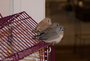 3 of the latest 4 Zebra Finch Fledglings