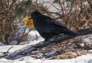 Crow 2-19-15-4662