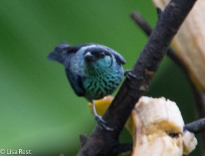 Black-Capped Tanager 04-03-15-6101