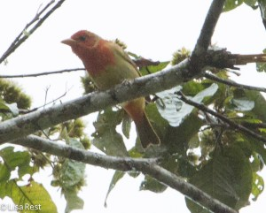 Summer Tanager 04-03-15-5838