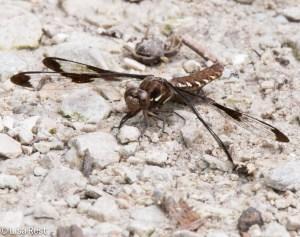 Dragonfly 6-14-15-5137