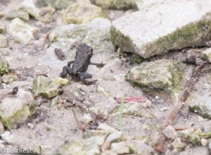 Toadlet Chicago Portage 6-14-15-5080