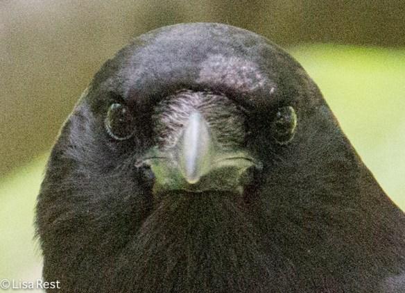 Crow Face LSE Park 7-2-15-6010
