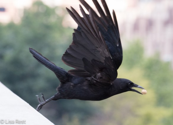 Crow outside LSE Park 6-30-15-5959