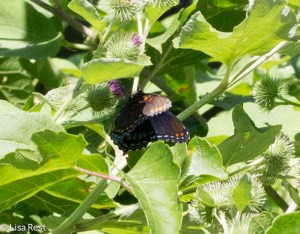 Red Spotted Purple Butterfly Portage 8-2-15-1389