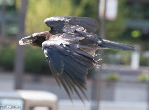 Crow 8-19-15-9335