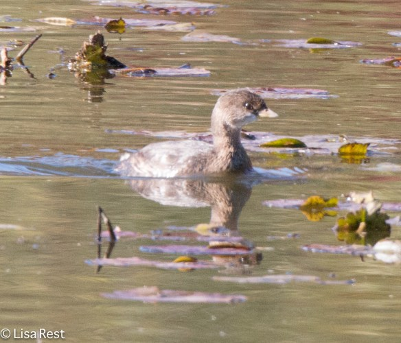 Pied-Billed Grebe, McGinnis Slough 10-25-15