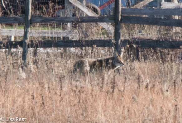 Coyote Fermilab 12-19-2015 -8260