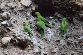 Pacific Parakeets at Nesting Site 02-22-2016-2734