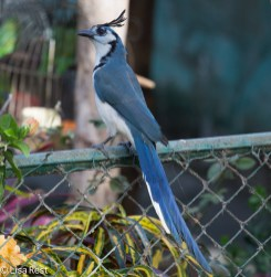 White-Fronted Magpie-Jay 02-26-2016-4625