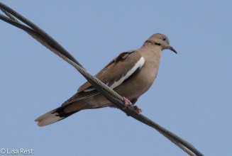 White-Winged Dove 02-27-2016-4943