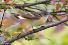 American Redstart, Millennium Park