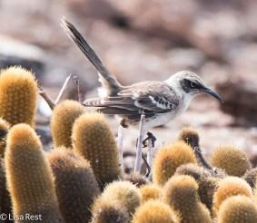 galapagos-mockingbird-7-11-16-7203