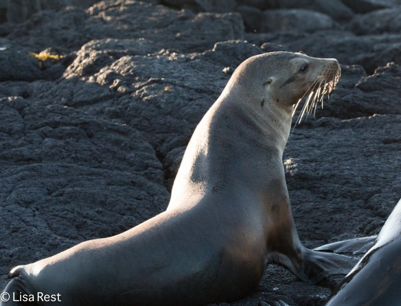 galapagos-sea-lion-7-12-16-8486