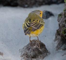 yellow-warbler-07-13-2016-9232