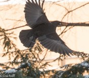 crow-with-cookie-12-12-16-5207