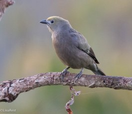 Palm Tanager - 3-13-17-0768