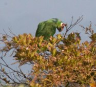 Red-Lored Parrot 3-13-17-1077