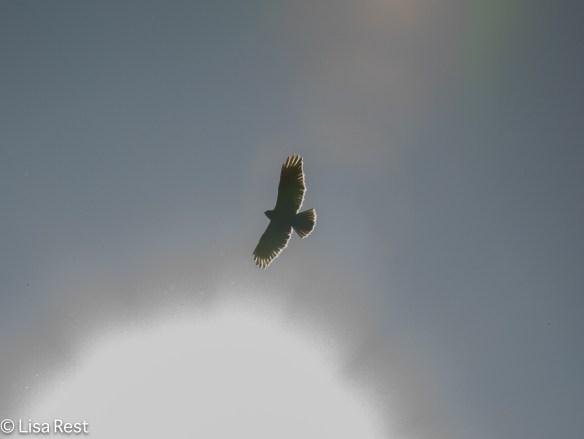 RT Hawk in the Sun 4-15-17-0838