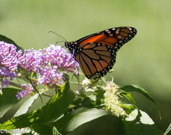 Monarch LSE Park 07-25-17-2175