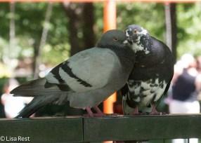 Pigeon Love LSE Park 07-25-17-2195