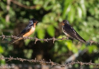 Barbed Wire Swallows 07-30-17-6889