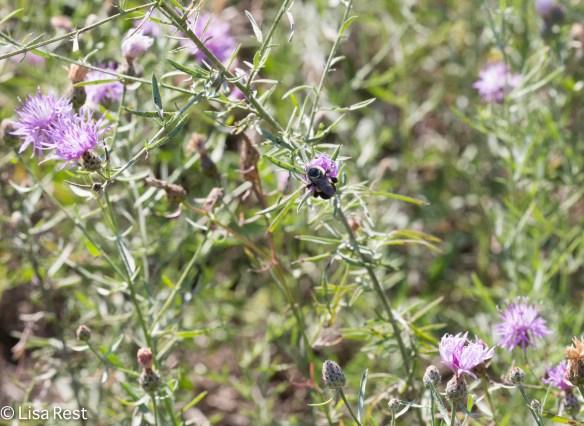 Bee on the Invasive Plant Big Marsh 07-30-17-6934