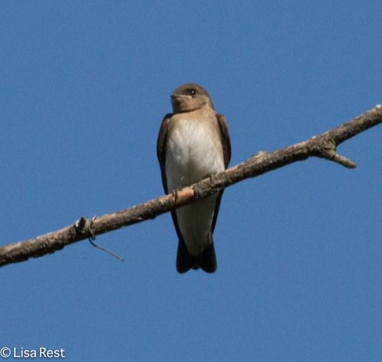 Northern RW Swallow Big Marsh 07-30-17-6950