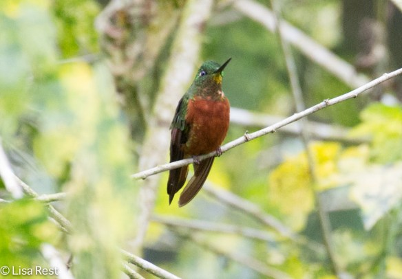 Chestnut-Breasted Coronet 11-21-17-0567