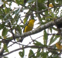 Blue-winged Mountain-Tanager 11-24-2017-0993