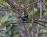 Deep Blue Flowerpiercer 11-24-2017-1212