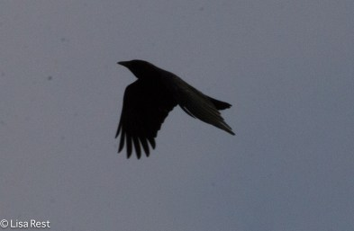 Flying Crow 02--25-2018-6319