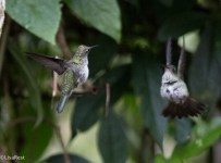 Many-spotted Hummingbird 11-24-2017-1706