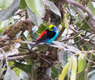 Paradise Tanager 11-24-2017-1305