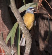 Blue and Yellow Tanager 11-27-2017-2904