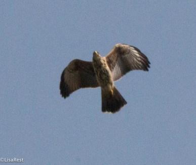 Broad-Winged Hawk 11-27-17-3094