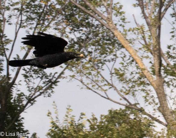 Crow 9-16-18-0533