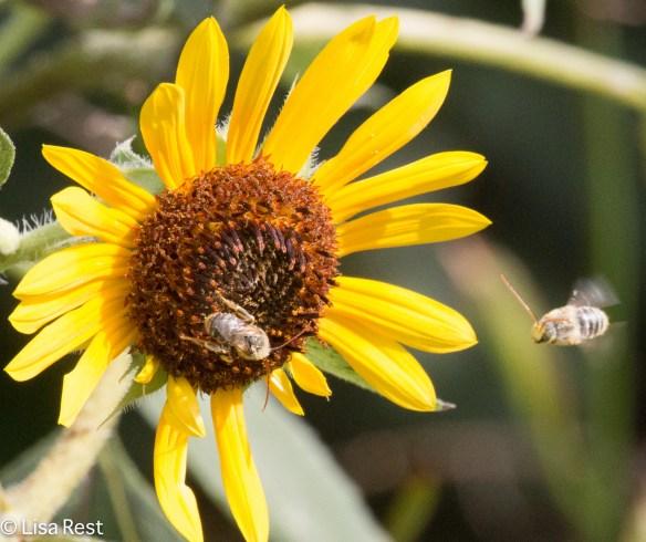 Longhorn Bees Yard 9-9-18-9514