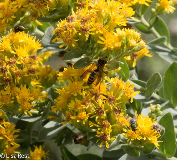 Wasp and Flies on Showy Goldenrod 9-9-18-9497