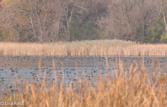 Hundreds of Coots - 11-3-18-4332