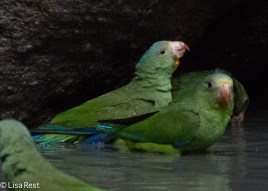 Cobalt-Winged Parakeets 07-04-2016-4379