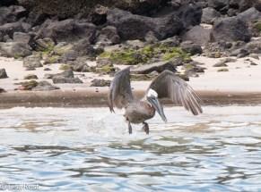 brown-pelican-7-10-2016-6259