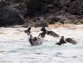 brown-pelican-and-brown-noddies-7-10-2016-6363
