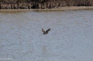galapagos-mockingbird-7-10-2016-5307